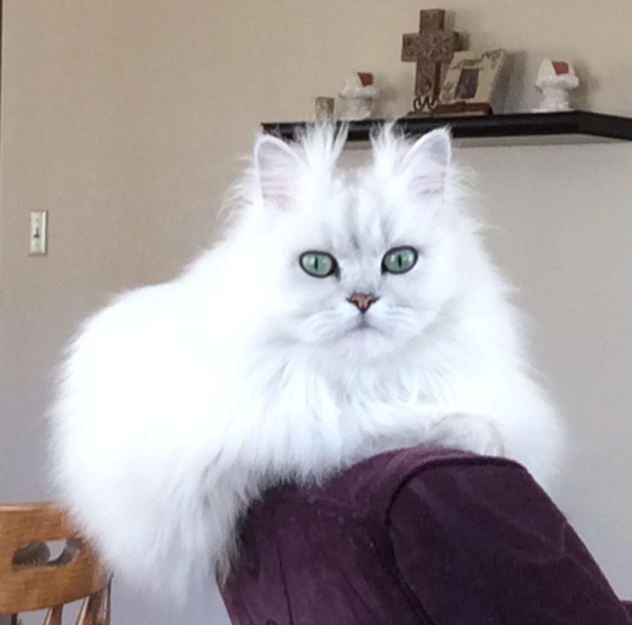 Dearheart Chinchilla Silver Persian Cats/Kittens Carson City